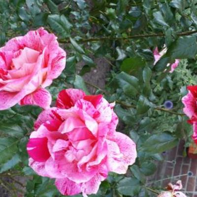 Rosa 'Rachel Louise Moran'  -