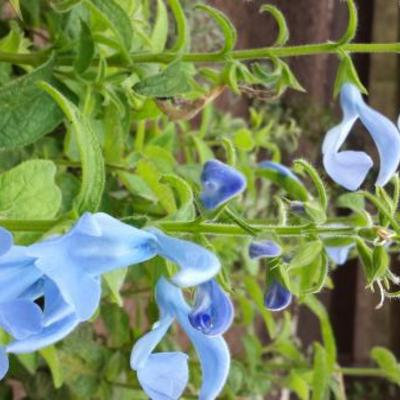 Salvia patens 'Cambridge Blue' -