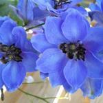 Delphinium 'Centurion Gentian Blue' - Delphinium 'Centurion Gentian Blue' - Ridderspoor
