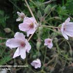 Erodium absinthoides var. armenum - Erodium absinthoides var. armenum - Reigersbek