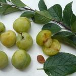 Prunus domestica 'Reine Claude d'Oullins' - Pruimelaar - Prunus domestica 'Reine Claude d'Oullins'