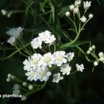 Achillea ptarmica - Duizendblad / Wilde bertram - Achillea ptarmica