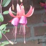 Fuchsia 'Wilma Versloot' -