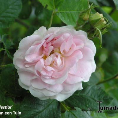 Rosa 'Celestial' -