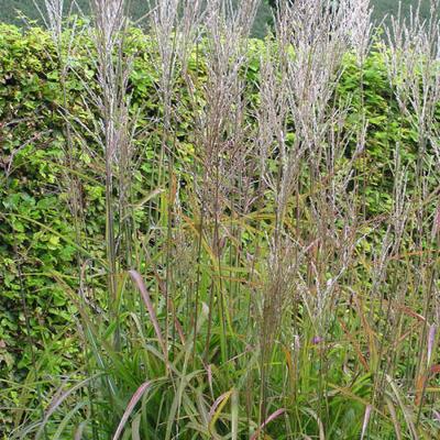 Miscanthus sinensis 'Samurai' - Prachtriet - Miscanthus sinensis 'Samurai'