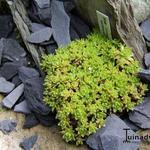 Crassula setulosa 'Milfordiae' - Crassula setulosa 'Milfordiae' - Vetkruid