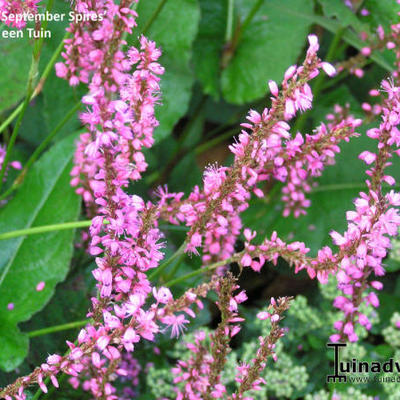 Persicaria amplexicaulis 'September Spires'  -
