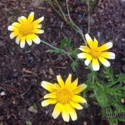Chrysanthemum coronarium -