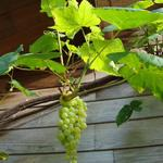 Vitis vinifera 'Himrod' - Druif, pitloze - Vitis vinifera 'Himrod'