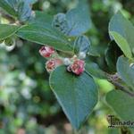 Cotoneaster -