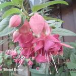 Fuchsia 'Blood Donor' - Bellenplant