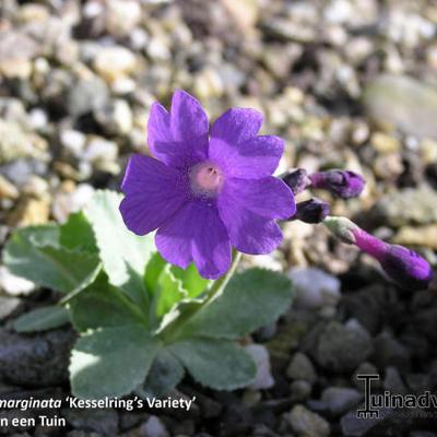Primula marginata 'Kesselring's Variety' -