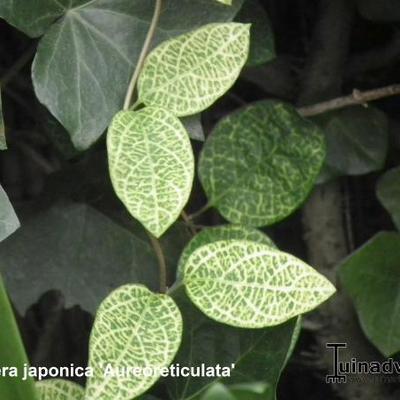 Lonicera japonica 'Aureoreticulata' -