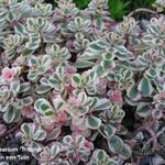 Sedum spurium 'Tricolor' - Kaukasische muurpeper, roze vetkruid - Sedum spurium 'Tricolor'