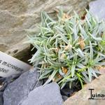 Dianthus microlepis ssp. rivendell - Anjer