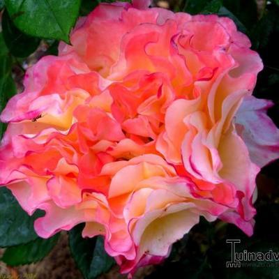 Rosa 'Aquarell' -