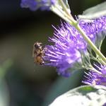 Caryopteris x clandonensis 'Kew Blue' - Caryopteris x clandonensis 'Kew Blue' - Blauwe spirea , baardbloem, herfstsering