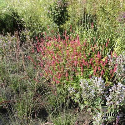 Persicaria amplexicaulis 'Border Beauty' -