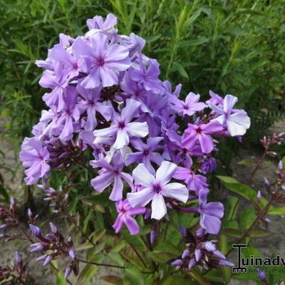 Phlox paniculata 'Blue Evening' -