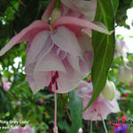 Fuchsia 'Misty Grey Lady' - Bellenplant