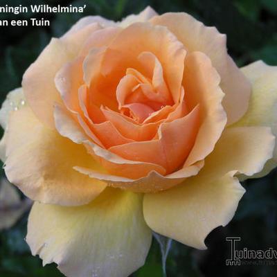 Rosa 'Koningin Wilhelmina' -