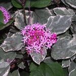 Clerodendrum bungei 'Pink Diamond' - Kansenboom, Pindakaasstruik