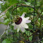 Passiflora 'Panda' -