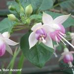 Fuchsia 'Bon Accord' - Bellenplant