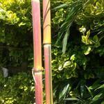 Phyllostachys aureosulcata 'Spectabilis'  - Reuzenbamboe - Phyllostachys aureosulcata 'Spectabilis'