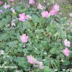 Erodium reichardii - Erodium reichardii - Reigersbek