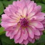 Dahlia 'Seduction' - Dahlia