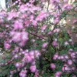 Calliandra surinamensis - Calliandra surinamensis - Surinaamse poederkwast