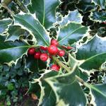 Ilex aquifolium 'Madame Briot' - Hulst - Ilex aquifolium 'Madame Briot'