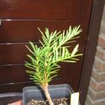 Torreya californica -
