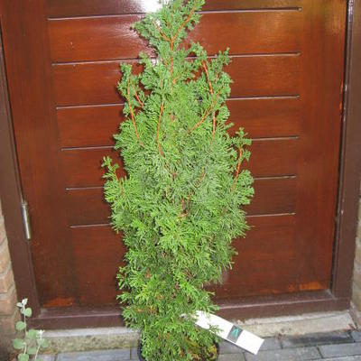 Chamaecyparis thyoides 'Andelyensis' -