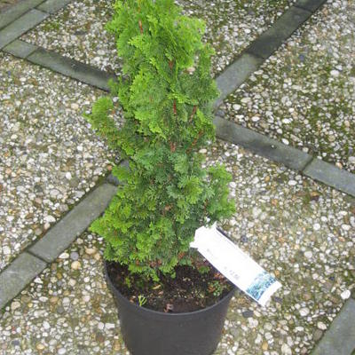 Thuja occidentalis 'Spiralis' - Levensboom