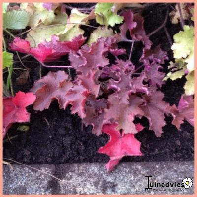 Heuchera 'Purple Petticoats' -