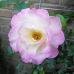Rosa 'Händel' - Roos, Klimroos - Rosa 'Händel'