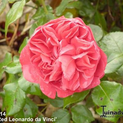 Rosa 'Red Leonardo da Vinci' -
