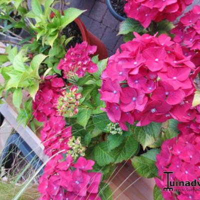 Hydrangea macrophylla 'Mme. G.J. Bier' -