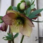 Nieskruid - Helleborus orientalis 'Picotee'