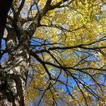 Gymnocladus dioica - Doodsbeenderenboom - Gymnocladus dioica