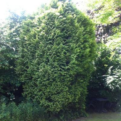 Thuja occidentalis - Levensboom