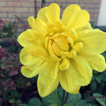 Dahlia 'Kelvin Floodlight' - Dahlia