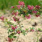 Escallonia - Escallonia 'Donard Seedling'