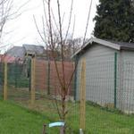 Prunus persica 'Sanguine de Savoie' - Prunus persica 'Sanguine de Savoie' - Perzik, Bloedperzik, Grijze muizen