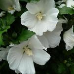 Hibiscus syriacus 'W.R. Smith' - Althaeastruik