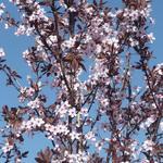 Prunus cerasifera 'Nigra'  - Kerspruim - Prunus cerasifera 'Nigra'