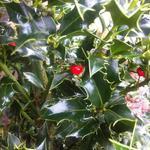 Ilex aquifolium 'Alaska' - Ilex aquifolium 'Alaska' - Hulst