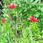 Lilium 'Monte Negro' -